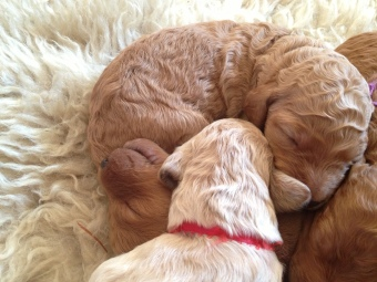 1cute curled up pups