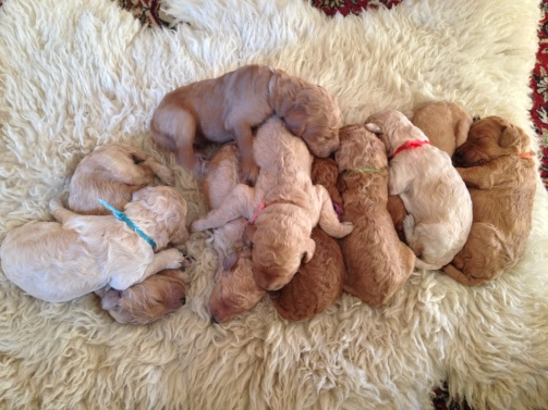 Sleepy puppies on sheepskin