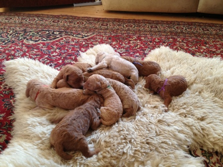 such a heap of contented puppies!