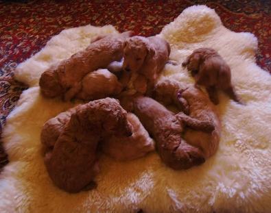 Puppies on sheepskin July 2015