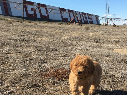 Puppies' first car ride included a stop to run around at the famous Go Cougs #shednotbarn!