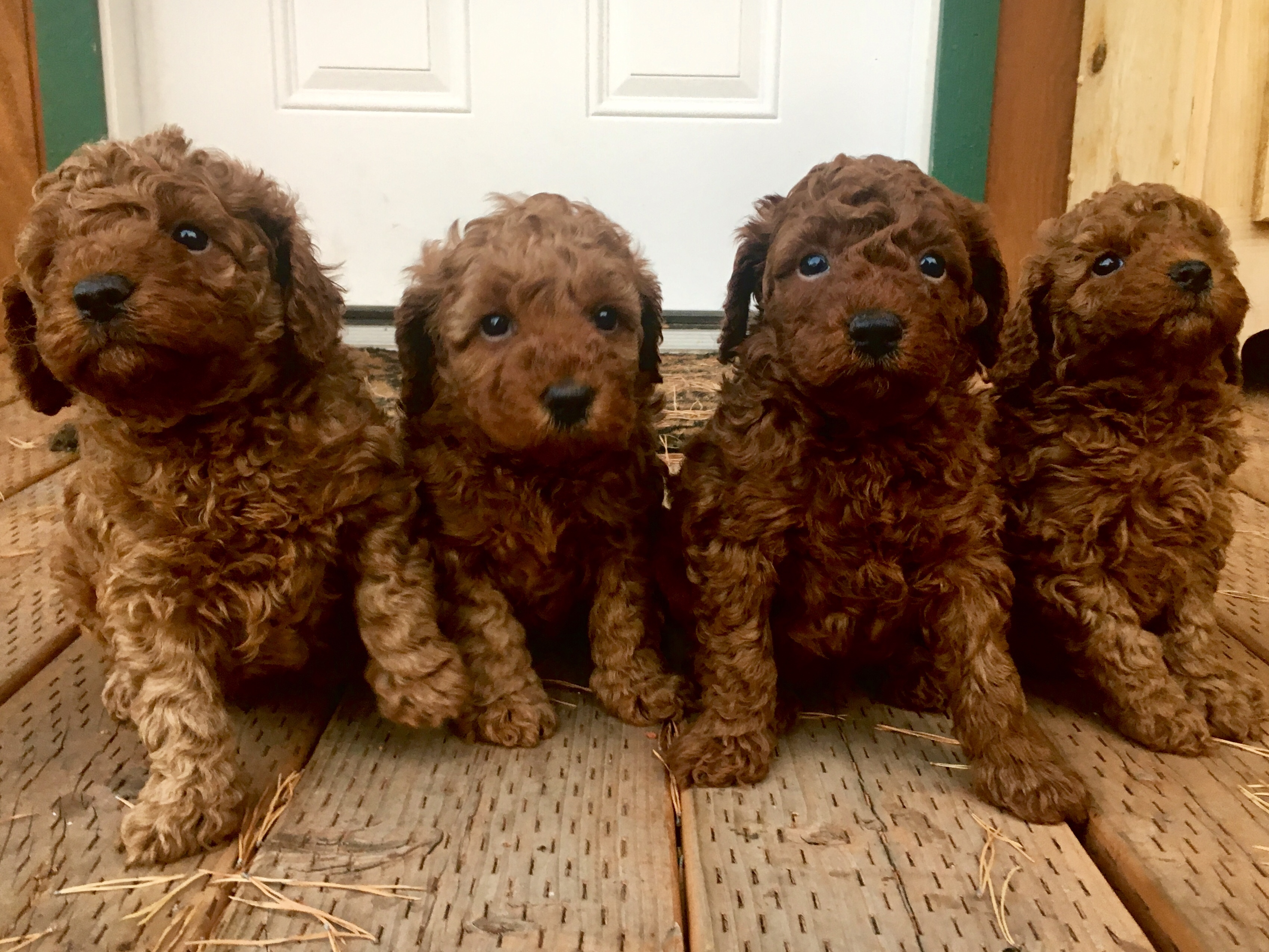 Meet The Puppies Perfection Poodles