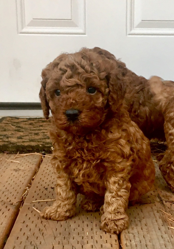 Perfection Poodles Poodle Puppies In The Inland Northwest